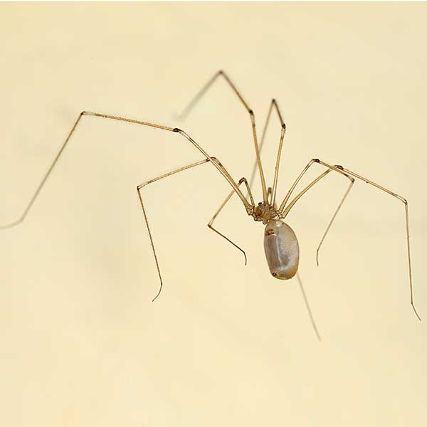 Cellar spider pest control and removal in Vancouver WA and Portland OR