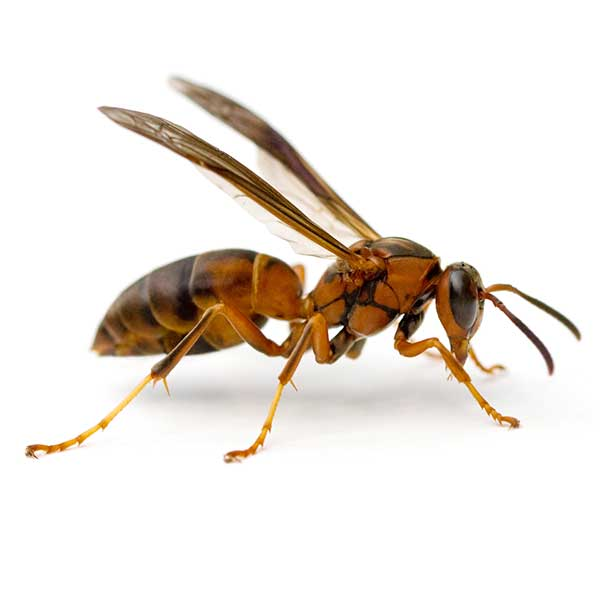 Paper wasp pest control and removal in Vancouver WA and Portland OR