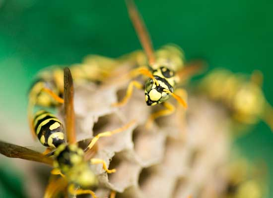 Antworks Pest Control provides wasp control and removal services in Vancouver WA and Portland OR.