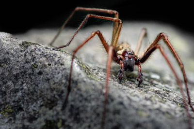 Giant house spider on a rock. Antworks provides pest control options for giant house spiders in the Portland, OR and Vancouver, WA areas.