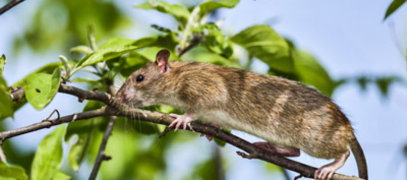 No More Rats or Mice: How to Keep Rodents Away This Fall